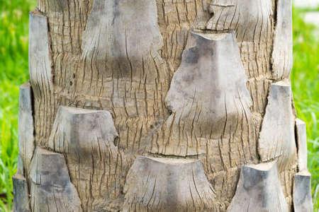 bark palm tree: Bark of palm tree, wood background texture