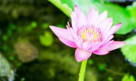 Lotus flower in pond, Nature background