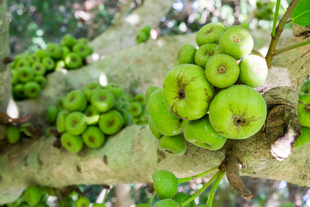 Ficus carica tree, Ficus racemosa tree, Fig on tree, common figs on tree