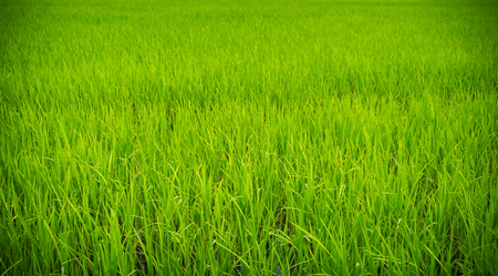 fertile: Green confield background, Lush and fertile rice