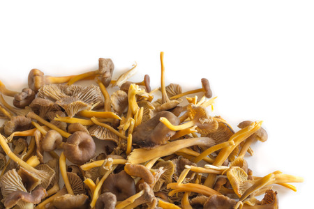 A pile of Funnel Chanterelle mushrooms on white background