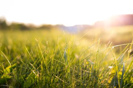 Closeup of green grass in sunset