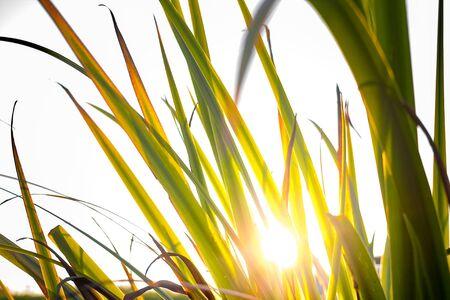 Closeup of reeds in sunset Imagens