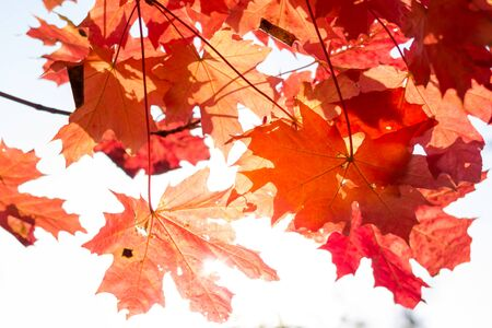 Colorful leaves in autumn sunset Imagens