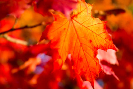 Closeup of a colorful leaf in autumn sunset