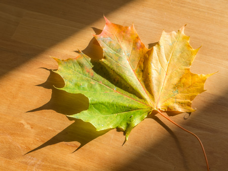 A colorful Maple leaf on wooden table Imagens