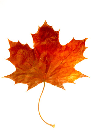 A red Maple leaf on white background