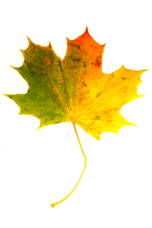 A colorful Maple leaf on white background