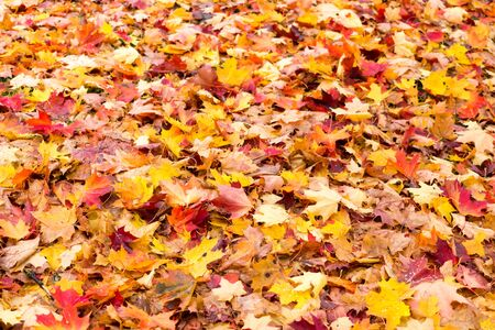 Lot of colorful maple leaves on ground