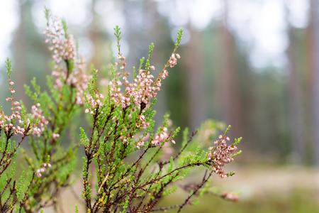 Closeup of a Calluna shrub in forest in autumn
