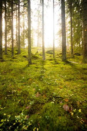 A bright sunlight shining through trees in forest with moss on ground