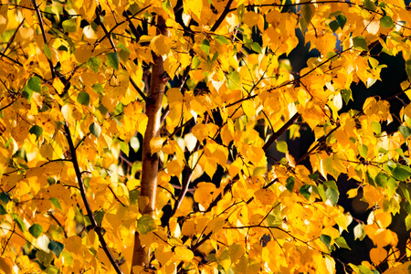 Closeup of yellow leaves on a tree in autumn