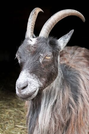 Closeup of a black and brown goat with dark background