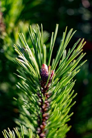 Closeup of young spruce cone