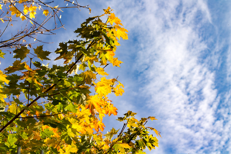 Closeup of colorful maple leaves in a tree in autumn