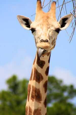 Giraffe sticking out his tongue.