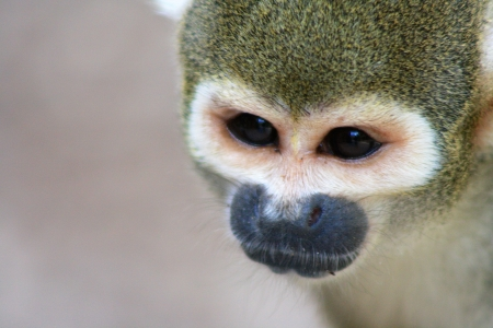 Monkey Face Stock Photo - 15273690
