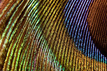 Macro photo of a peacock feather Stock Photo