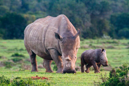 Thandi and Mthetho Mother and baby white rhino in the field