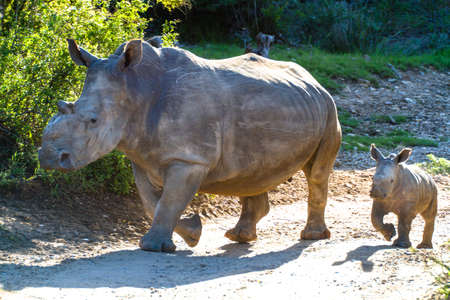 Thandi and Mthetho Mother and baby white rhino walking