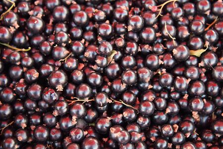 Fresh black currant Background. eco farm berry from fields and orchards