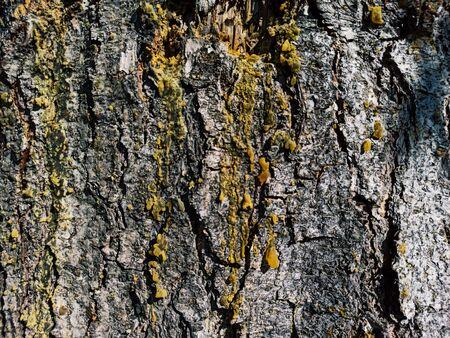 bark tree with resin, cedar