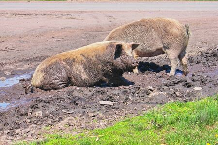 Two pigs laying in a dust