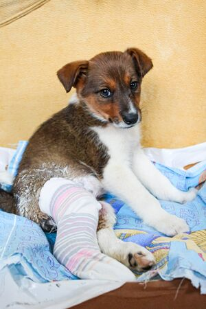 Puppy with a broken paw and plaster.