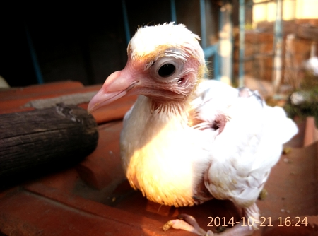 squad: A 15 days old baby pigeon or squad.