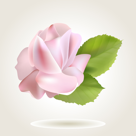 single rose: Spring soft realistic single rose flower, illustration