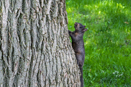 Black western squirrel on the tree Stockfoto