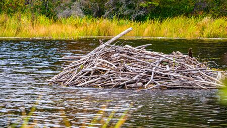 The visible portion of a den constructed by beavers is seen in the middle of a pond. The water ripples around it, and grass is visible in the background (and blurred in the foreground). Reklamní fotografie