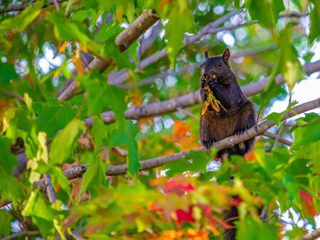 Un écureuil noir se tient droit sur la branche d'un érable pendant qu'il grignote ses graines tout en les tenant avec ses pattes.