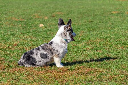 A Welsh corgi sits in the grass of a public park in the fall, looking away. The dog pants with its mouth open and ears perked up.