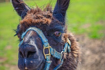 A llamas face is seen up close, showing the detail of its hair, ears and nose. The animal wears a blue halter around its mouth.