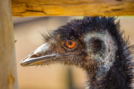 An emu inside a fenced-in area looks out by the corner fencepost. Its orange eye looks bright, and the texture of its patchy feathers, skin and bill can be seen. Stock fotó