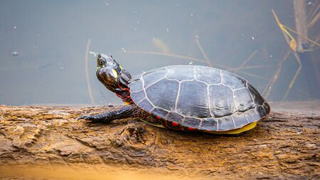 A painted turtle sits on a log in a pond. The reptile has its rear legs and tail retracted within its shell, with only its front claws visible. It also suffers from an aural abscess, an ear infection.