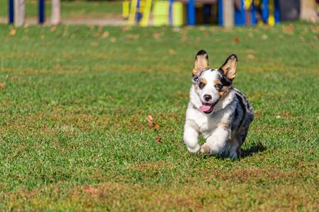 A Welsh corgi is running this way, its front paws lifted up as it bounds forwards. The small dogs tongue hangs out as it runs with a look of excitement. Stock fotó