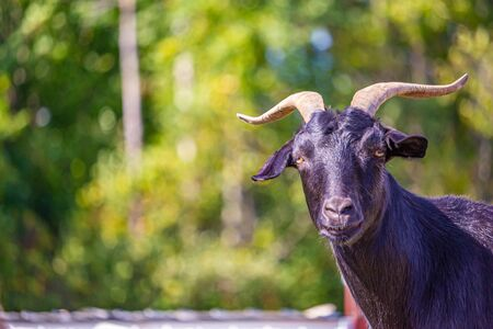 A black, horned goat looks towards the camera, in focus against a blurred background of green foliage.