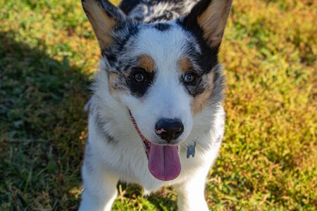 A young Welsh corgi is panting as it sits in the grass, looking up at its friend. The dogs tongue is hanging out and its eyes are wide, as if smiling happily. Stock fotó