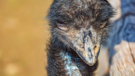 The face of an emu is viewed close up. The birds beak and face are dirty, with caked mud and dirt embedded in the birds feathers after foraging on the ground.