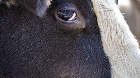 The side of a Holstein bulls head is seen up close, showing the texture of the hair on its face and the shape of its eye seen clearly. Stock fotó