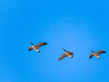 On a clear day, three Canada geese are flying with their wings outstretched. Seen from below against the sky, the brown and black colors of their feathers stands in contrast against the solid blue. Stock fotó