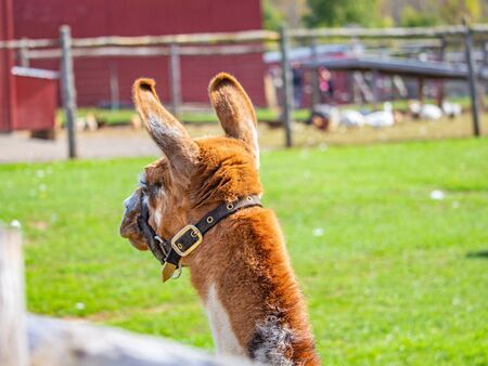 The back of a llamas head is seen as it turns away. The light brown and white animal wears a fabric halter around its muzzle and neck. It stands in a grass enclosure on a farm.