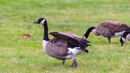 A Canada goose is standing in a field of cut grass as it stretches its wings out. Two other geese are visible foraging in the grass behind it. Stock fotó