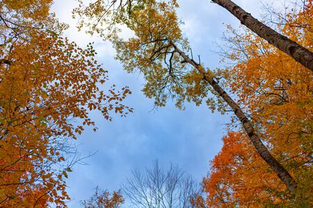 A upward-looking view from inside a forest during the autumn season shows long, thin tree trunks and a variety of orange and red fall leaves. Above them, a blue sky is dusted with clouds.