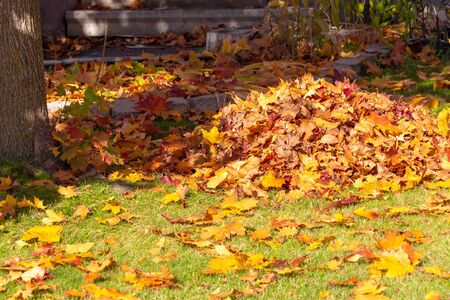 A loose pile of fallen autumn maple leaves is on a grass lawn in the front yard of a suburban home. The dried, but still colorful, leaves are still scattered on the surrounding lawn and walkway.
