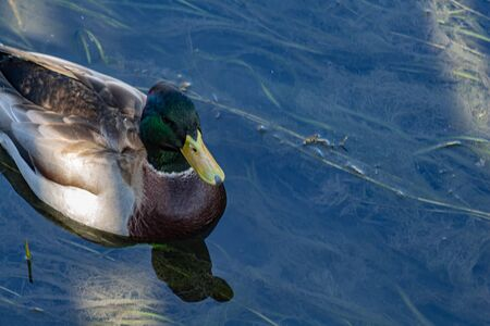 A mallard duck is seen up close as it swims through a shady area of fairly shallow water. Detail in the birds coloring and plumage can be seen, while seaweeds are visible below the surface.