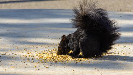 An eastern gray squirrel, colored black due to a melanistic genetic variation, eats birdseed that has been scattered on a concrete platform near the ground. Stock fotó