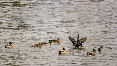 In a river, a flock of mallard ducks is swimming as a single male sits upright in the water, flapping his wings to show off its feathers, and subtly communicate with potential mates and rival males. 写真素材